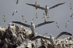 Gannets Flying Above. Northern Gannets flying from the rocky cliffs of Bass Rock, an island in the Firth of Fourth Scotland Royalty Free Stock Photography