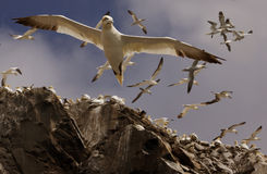 Gannets Flying Above Royalty Free Stock Photo