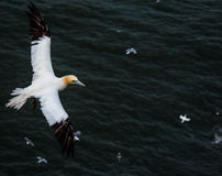 Gannets flying  at bempton Cliffs, Yorkshire , UK Royalty Free Stock Image