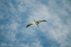 Gannets flying in New Zealand Royalty Free Stock Photo
