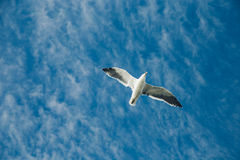 Gannets flying in New Zealand Royalty Free Stock Image