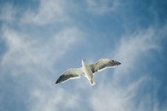 Gannets flying in New Zealand Stock Photo
