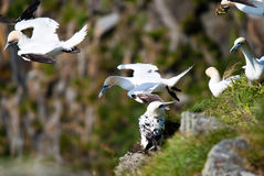 Gannets flying from their nest Royalty Free Stock Image