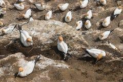 Gannets gniazduje na falezach Obrazy Stock