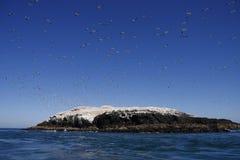 gannets grassholm Fotografia Royalty Free