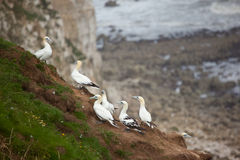 Gannets in a Group Stock Photo