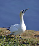 Gannets in Helgoland Stock Photography