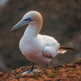 gannets at Helgoland island in North Sea, Germany Royalty Free Stock Photography