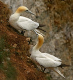 Gannets on the Hillside. A male and female Northern Gannet on a hillside at Bempton Cliffs on the Yorkshire coast in England Royalty Free Stock Photos