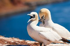 Gannets on the Isle of Helgoland stock images