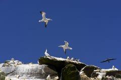 Gannets Klippe stockbild