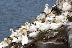 Gannets kolonia Fotografia Royalty Free