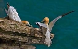 Gannets masculino e fêmea Imagem de Stock