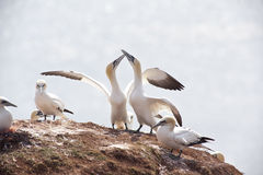 Gannets Royalty Free Stock Photography