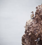 Gannets Royalty Free Stock Photos