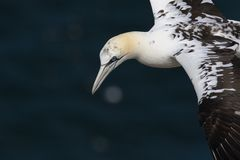 Gannets, morus, gliding, nesting besides cliff face at troup head, aberdeenshire, scotland in june. Gannets, morus, gliding, nesting, flying, besides cliff face royalty free stock image