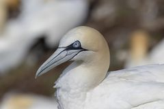 Gannets, morus, gliding, nesting besides cliff face at troup head, aberdeenshire, scotland in june. Gannets, morus, gliding, nesting, flying, besides cliff face stock photo