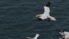 Gannets, morus, szybownictwo, gniazduje oprócz falezy twarzy przy troup głową, aberdeenshire, Scotland w Czerwu zbiory wideo
