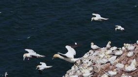 Gannets, morus, szybownictwo, gniazduje oprócz falezy twarzy przy troup głową, aberdeenshire, Scotland w Czerwu zbiory