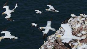 Gannets, morus, szybownictwo, gniazduje oprócz falezy twarzy przy troup głową, aberdeenshire, Scotland w Czerwu zdjęcie wideo