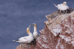 Gannets on a nest Royalty Free Stock Photo