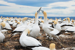 Gannets nesting Stock Photography