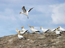 Gannets Nesting Royalty Free Stock Image