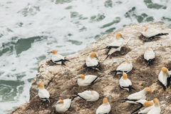 Gannets nesting on cliffs above ocean waves Stock Image