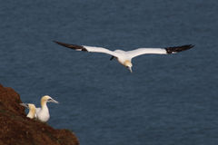 Gannets nesting in the cliffs with another Gannet ready to land when one moves Royalty Free Stock Photos