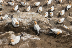 Gannets nesting on cliffs Stock Images