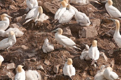 Gannets on a Nesting Island Royalty Free Stock Photo