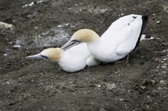 Gannets during the nesting season Stock Photos