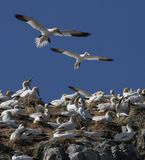 Gannets On Nests Of Plastic stock image