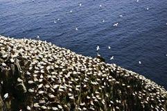 Gannets no pássaro Sanctua do St. Mary do cabo imagens de stock royalty free