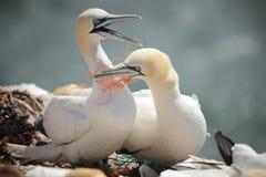 Gannets nordico (bassanus del Morus) Fotografie Stock Libere da Diritti