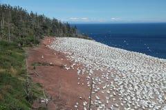 Gannets nordique Photo libre de droits