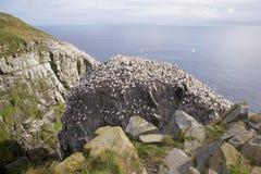 Gannets Stock Image