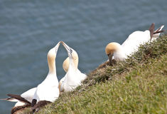 Gannets Royalty Free Stock Photo