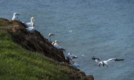 Gannets przy bempton falezami, Yorkshire, UK Obraz Stock