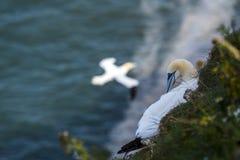 Gannets przy bempton falezami, Yorkshire, UK Obrazy Stock