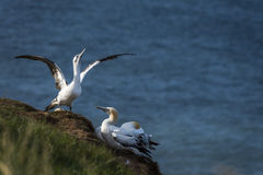 Gannets przy bempton falezami, Yorkshire, UK Obraz Royalty Free