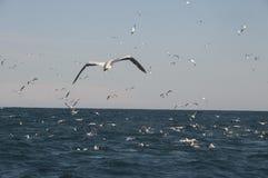 Gannets przy Sardene bieg Obraz Royalty Free