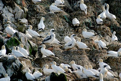 Gannets upon a rock in Bretagne (France). At the Côte Granit-Rose (Bretagne in France) are Les Sept Îles (The seven islands). These islands are not accessible Royalty Free Stock Image