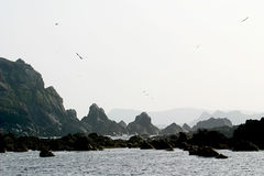 Gannets upon a rock in Bretagne (France) Royalty Free Stock Photography