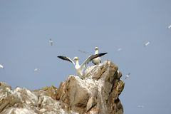 Gannets upon a rock in Bretagne (France). At the Côte Granit-Rose (Bretagne in France) are Les Sept Îles (The seven islands). These islands are not accessible Stock Photography