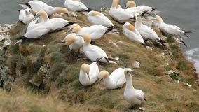 Gannets on rock outcrop in breeding colony. stock footage