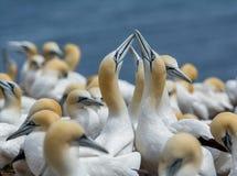 Gannets septentrional que socializa Fotografía de archivo libre de regalías