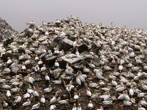 Gannets septentrionales Fotos de archivo