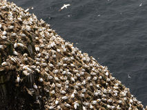 Gannets septentrionales Imagen de archivo