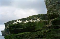 Gannets, Shetland Royalty Free Stock Image
